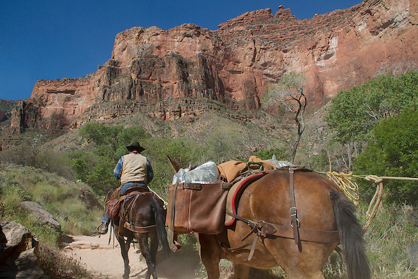 Cowboy leads mules on the Bright Angel Trail from Phantom Ranch to the South Rim, Grand Canyon National Park, Arizona, USA . John offers private photo tours in Grand Canyon National Park and throughout Arizona, Utah and Colorado. Year-round.