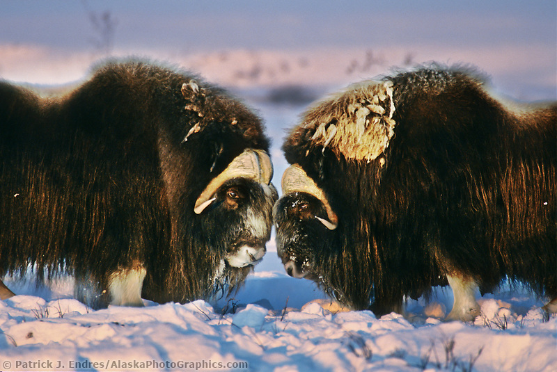 Bull Musk Ox face off on Alaska's snowy Arctic Coastal Plain