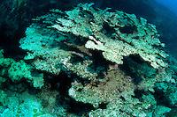 Coral bleaching, Elkhorn Coral, Florida Keys
