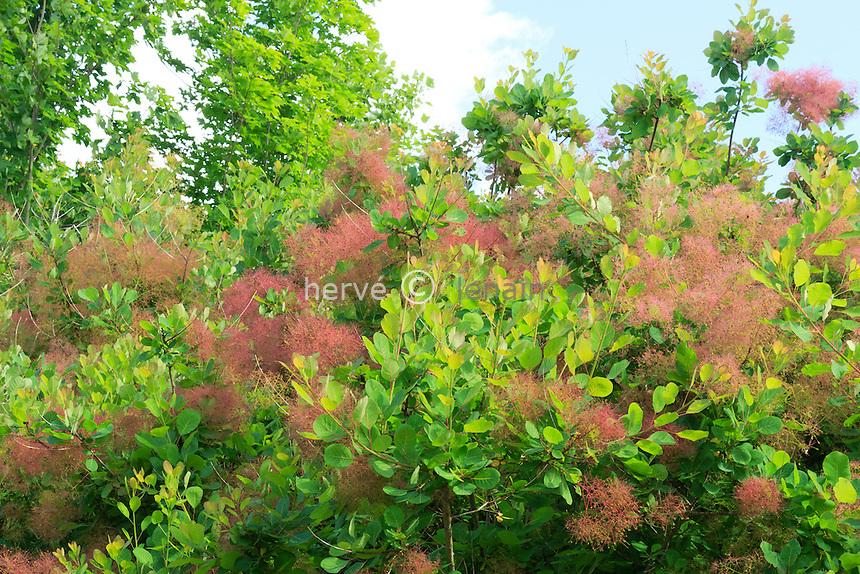 "Cotinus coggygria ou ""arbre à perruques"", ""fustet"" ou ""barbe de Jupiter"" // Smoketree or Smoke bush, Cotinus coggygria."