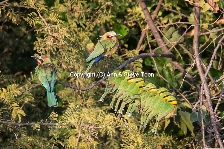 Whitefronted bee-eaters (Merops bullockoides) and little bee-eaters (Merops pusillus) basking on cold morning, Chobe river, Botswana, Africa, June 2017
