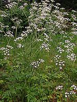 Gewöhnlicher Wiesen-Kerbel, Wiesenkerbel, Anthriscus sylvestris, wild chervil, wild beaked parsley, keck, Queen Anne's lace