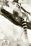 MADAGASCAR, ring tailed lemur sitting on branch, Beza Mahafaly (B&W)