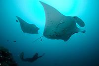 reef manta ray, Manta alfredi, German channel, Palau, Micronesia, Pacific Ocean