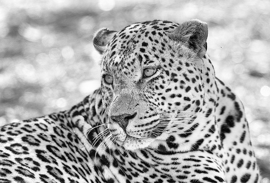 The Treehouse Male is one of the dominant male leopards at MalaMala.<br /> <br /> This image is also available in color.