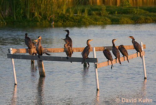 0827-0901  Flock of Double-crested Cormorants Resting on Platform over Marsh, Phalacrocorax auritus © David Kuhn/Dwight Kuhn Photography