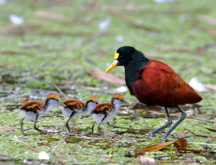 Adult northern jacana and chicks. The chicks would run about, but every few minutes would run to the adult bird and hide under its wings. This scene in Costa Rica, but northern jacana is occasional in south Texas