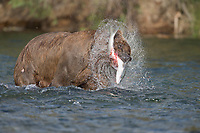 Brown bear with red salmon in the Brooks River, Katmai National Park, Alaska