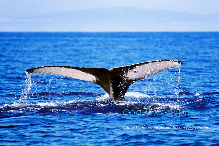 humpback whale, fluke-up dive, .Megaptera novaeangliae, .Maui at horizon, Hawaii (Pacific).