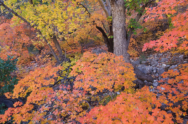 Bigtooth Maples (Acer grandidentatum) fallcolors, McKittrick Canyon, Guadalupe Mountains National Park, Texas, USA, November 2005