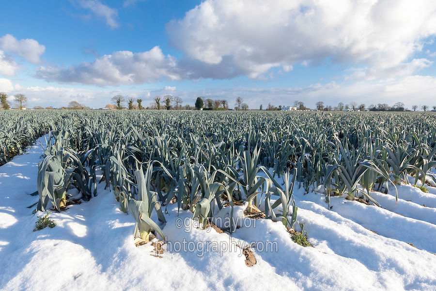 Leeks ready for harvest - Lincolnshire, February