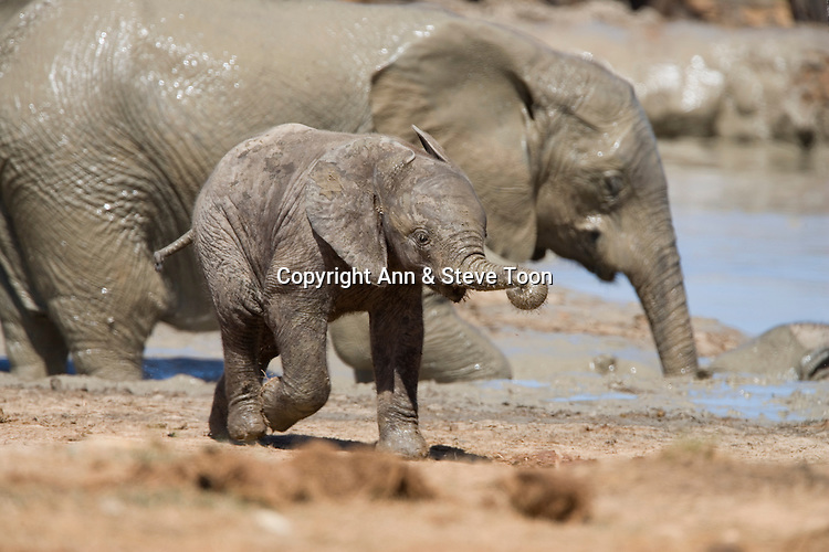 Baby elephant, Loxodonta africana, running, Addo National Park, Eastern Cape, South Africa
