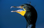 Double-crested Cormorant in Breeding Plumage, Everglades NP, FL, USA