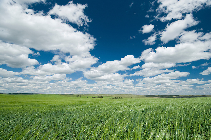 green grain fields and dramatic summer sky along Hwy 200 west of Sidney