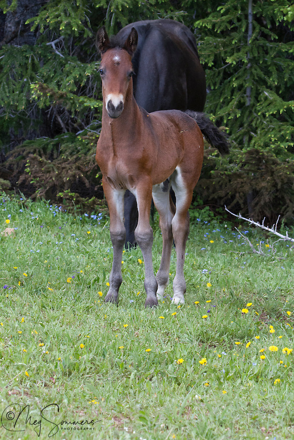 This is Oro with the adorable 4 grey stockings and two tone legs. Isn't he just precious now and what a spectacular stallion he will grow up to be! Mother Maia and father Galaxy.
