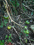 Garden plant - cucumber tomato - killed by frost