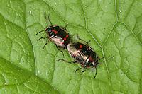 Kohlwanze, Kohl-Wanze, Paarung, Kopulation, Kopula, Eurydema oleraceum, brassica bug