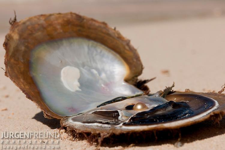 Jewelmer Pearlfarm, goldlip oyster, Pinctada maxima with golden pearl on beach