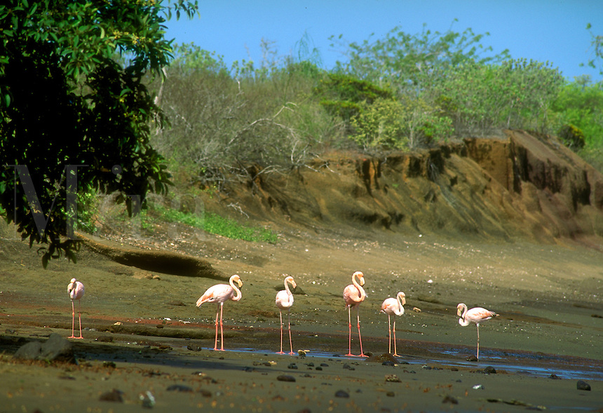 There are only about 750 Flamingos in the Galapagos. These are on a volcanic sand beach, birds. Flamingos. Punta Cormorant, Floreana Isl. Galapagos Islands Ecuador Pacific Ocean, 650 miles west of S. Am.