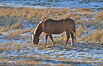 A horse grazes in a winter field.