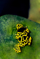 429000004vc a captive yellow-banded poison arrow frog dendrobates leucomelas perches on a rock in its terrarium in the long beach aquarium