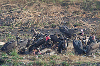 """A face-off between a critially endangered Red-headed Vulture and a White-rumped Vulture (Sarcogyps calvus, Gyps bengalensis) while feeding on a dead cow at a """"vulture restaurant."""" (Cambodia)"""