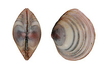 Baltic Tellin - Macoma balthica