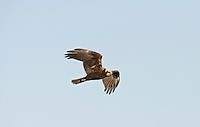 Marsh Harrier Circus aeruginosus Wingspan 110-125cm.Graceful wetland raptor.  Adult male is mostly reddish brown with blue-grey head and grey tail. In flight, note patches of grey and reddish brown on wings, and black wingtips. Adult female is mainly dark brown with pale leading edge to wings and pale cap and chin. Tail is reddish brown. Juvenile is similar to an adult female but tail is dark brown. Voice – mainly silent. Status and habitat – Commonest in summer months, but some birds are present year-round. Usually seen in flight over marshes and reedbeds. Easiest to see in East Anglia.