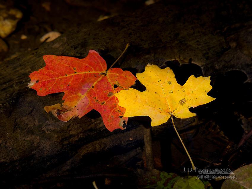 Floating Maple Leaves, West Fork of Oak Creek Canyon, Arizona