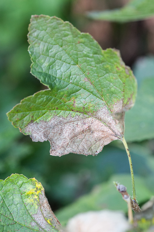 Redcurrant leaves turning yellow or brown and curling at the edges, withering and dying may be caused by lack of water, potassium deficiency, or a fungal disease.