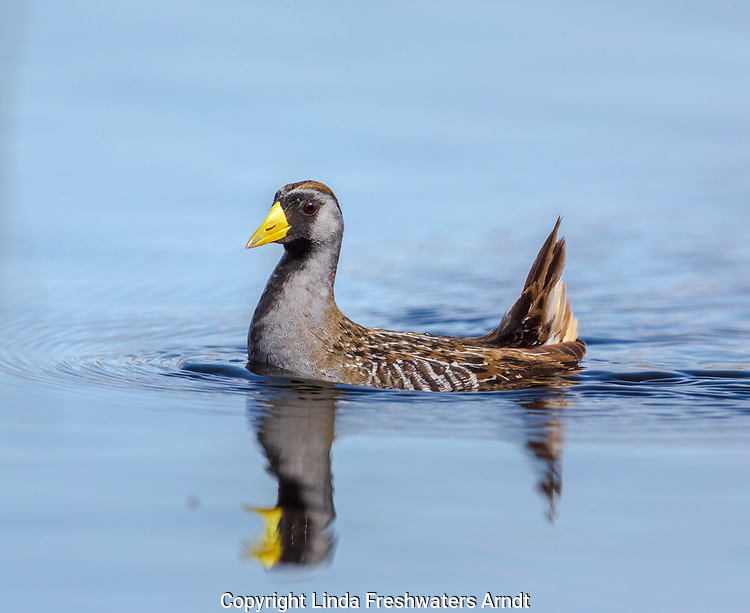 A Sora swimming in a northern Wisconsin lake.