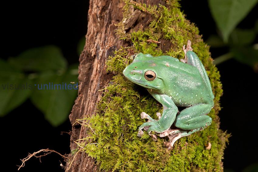 Chinese Gliding Frog (Polypedates dennysi), Pennsylvania, USA. Native to Asia. Captive.
