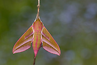 Mittlerer Weinschwärmer, Deilephila elpenor, Elephant Hawk-moth, Elephant Hawkmoth, Le Grand sphinx de la vigne, Schwärmer, Sphingidae, hawkmoths, hawk moths, sphinx moths