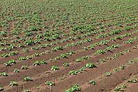 Irrigated potatoes - Lincolnshire, May