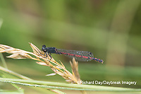 06061-00102 Eastern Red Damsel (Amphiagrion saucium) male Dent Co. MO
