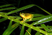 The Dainty Green Tree Frog or Graceful Treefrog (Litoria gracilenta) is a tree frog native to eastern Queensland, and north-eastern New South Wales, Australia. It ranges from northern Cape York in Queensland to Gosford in New South Wales, with a small and most likely introduced population in Hornsby Heights in Sydney. It is the faunal emblem of the City of Brisbane