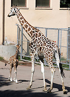 Il cucciolo di giraffa nato lo scorso 28 settembre, con la nonna Carroll, al Bioparco di Roma, 9 ottobre 2009..A male baby giraffe born on 28 september, stands on close its grandmother Carroll, at Rome's Bioparco, 9 october 2009..UPDATE IMAGES PRESS/Riccardo De Luca
