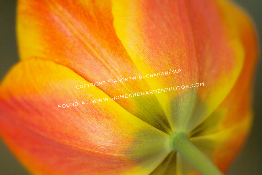 a shallow focus, closeup detail shot of the back side of a tulip blossom, with a green stem arching gracefully into the frame, and soft light highlighting the brushstrokes brush-like strokes of the orange and yellow petals that fill the frame.