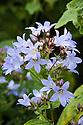 Campanula lactiflora, mid July.