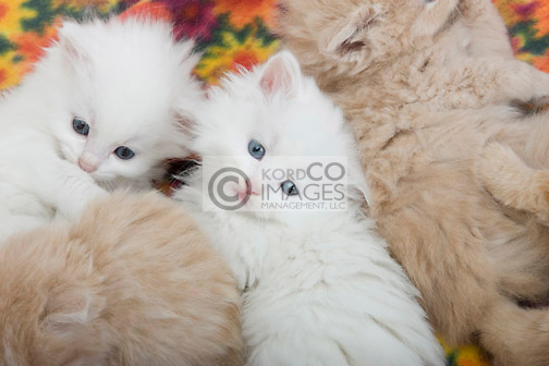 GROUP 6 WEEK OLD LONG HAIRED WHITE GINGER KITTENS LAYING ON BLANKET