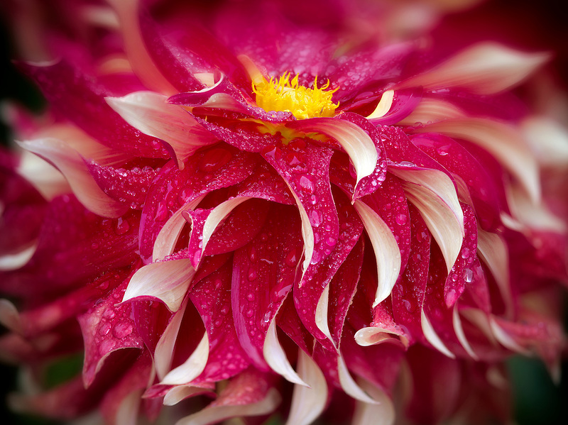 Dahlia (Bodacious) close up. Oregon