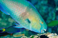 Bluebarred Parrotfish, Scarus ghobban, being cleaned by Bluestreak Cleaner Wrasse, Labroides dimidiatus, Shadow Reef dive site, Yilliet Island, Misool, Raja Ampat (4 Kings), West Papua, Indonesia, Indian Ocean