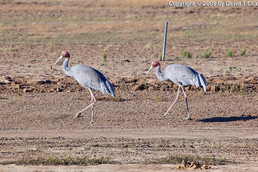 Saurus Crane, near Karumba, Queensland, Australia