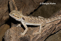 1R15-523z  Bearded Dragon, Popona vitticeps, Amphibolorus vitticeps