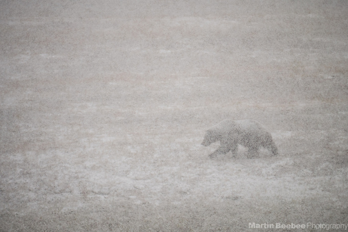 Grizzly Bear (Ursus arctos) in snowstorm, Denali National Park, Alaska