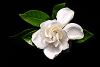Gardenia 429