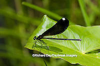 06014-002.11 Ebony Jewelwing (Calopteryx maculata) female, Lawrence Co. IL