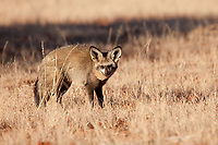 Bat Eared Fox (Otocyon megalotis). Mokala National Park, South Africa.