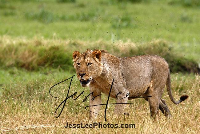 African Lion (Panthera leo)<br />Kenya
