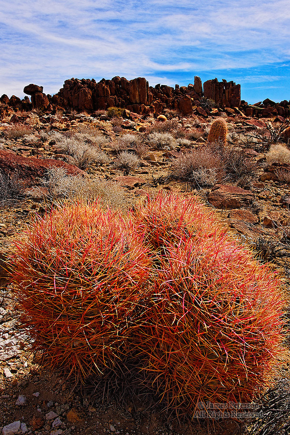 Red Barrel Cacti, Mojave Desert, California